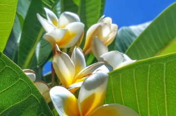 Plumeria, an impressive, almost immortal flower with a divine scent